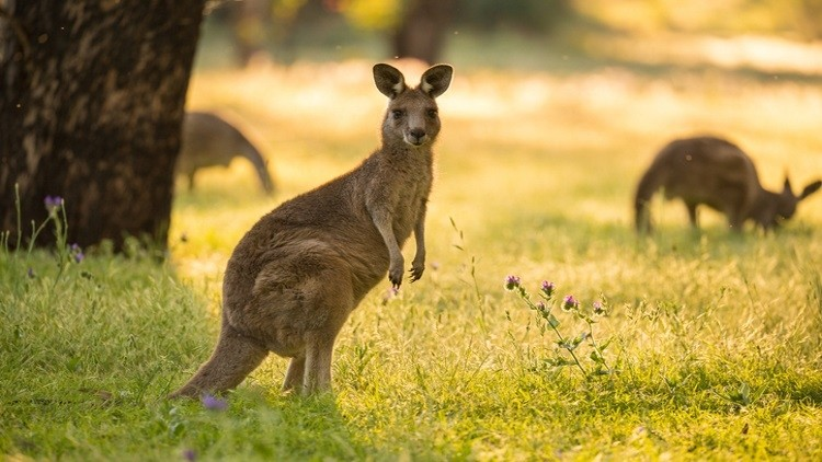 Kangaroo-meat-backed-by-Australian-government_wrbm_large